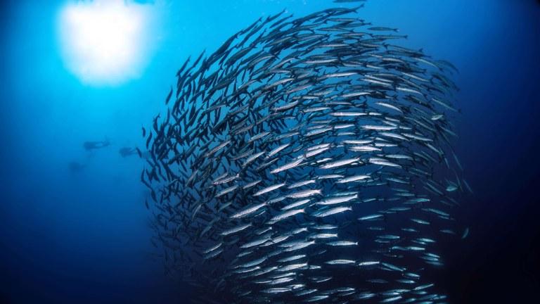 Marine fish stocks