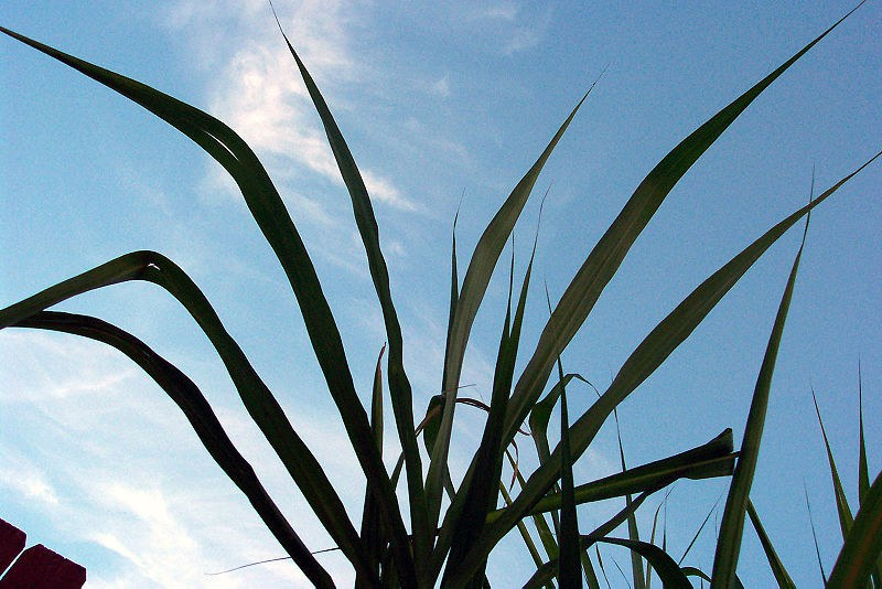 Sugarcane leaves
