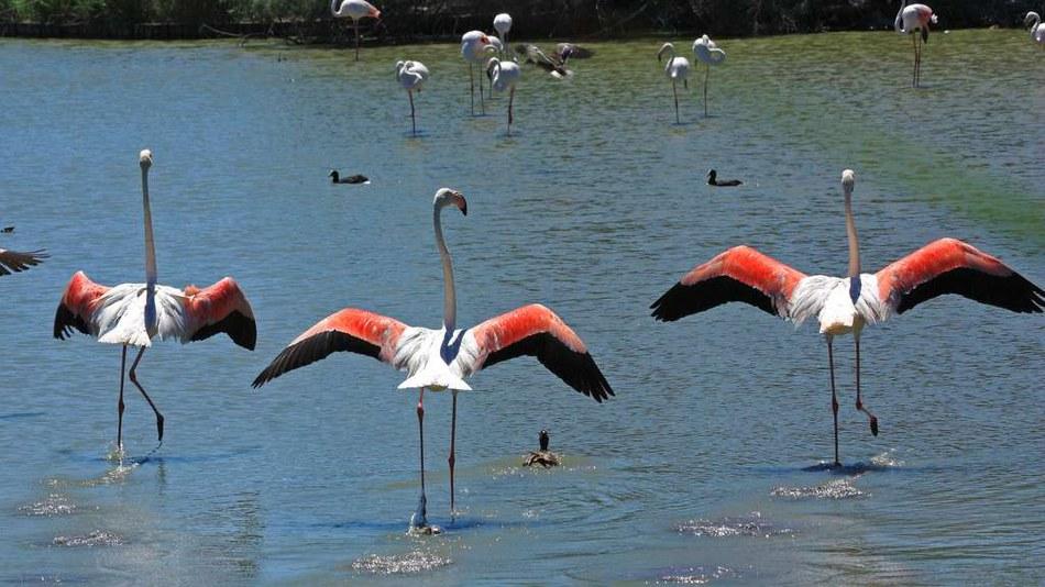 Flamingos in Pièmanson, Camargue