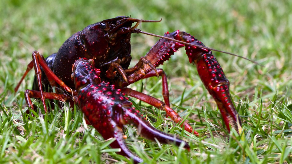 Red swamp crayfish