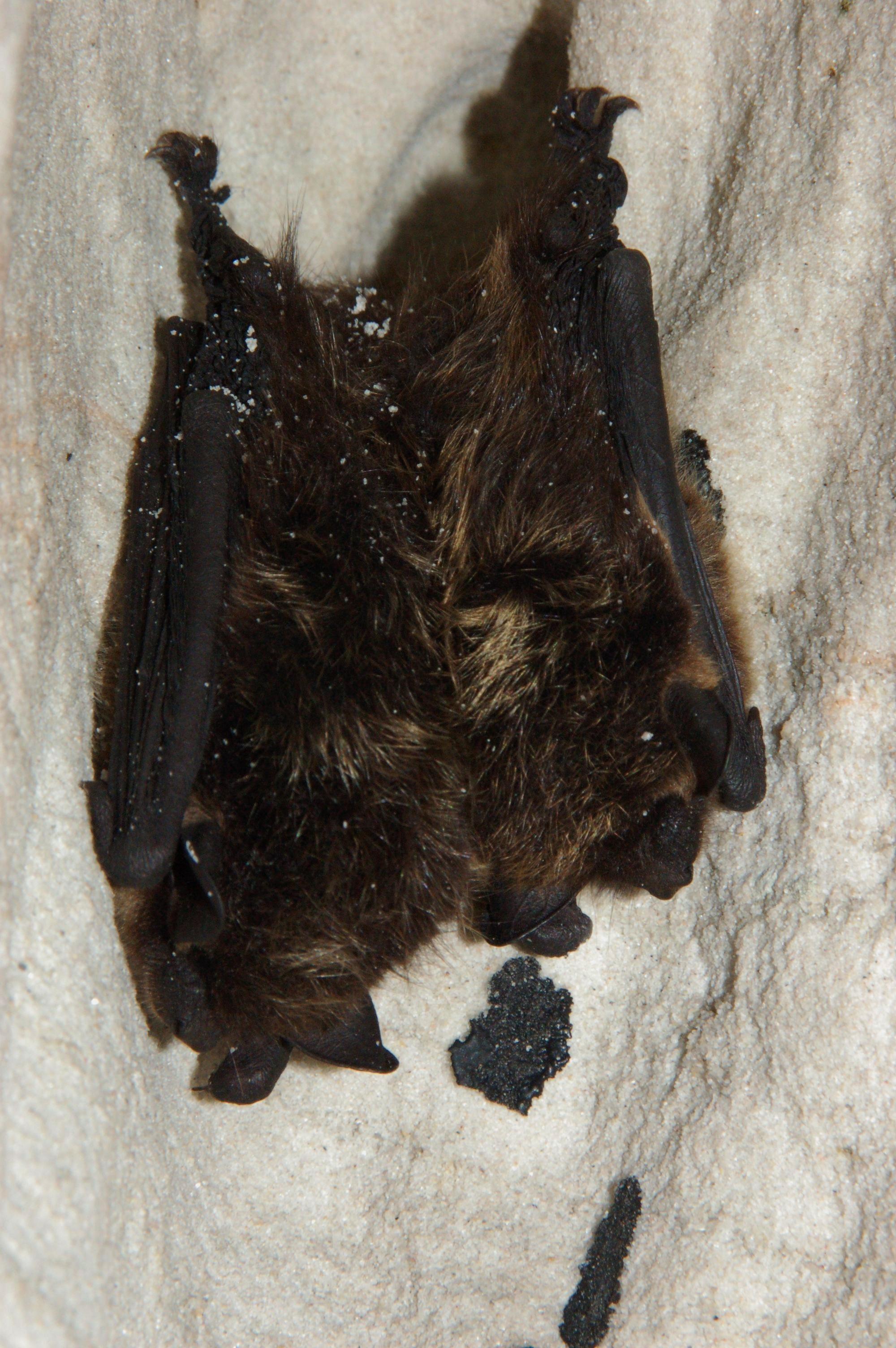 Eptesicus nilssonii (Viesturs Vintulis)