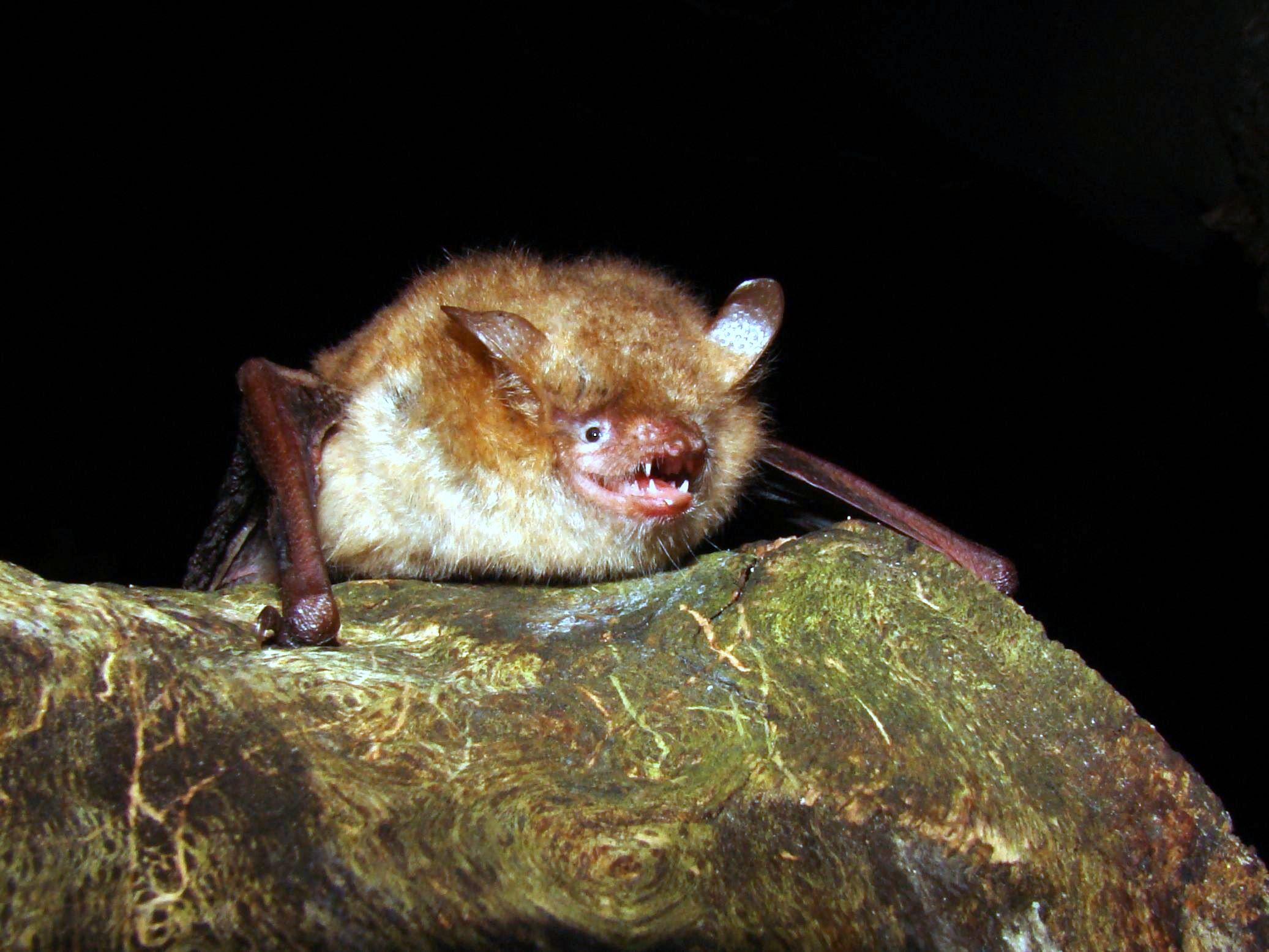 Myotis emarginatus (Martin Celuch)