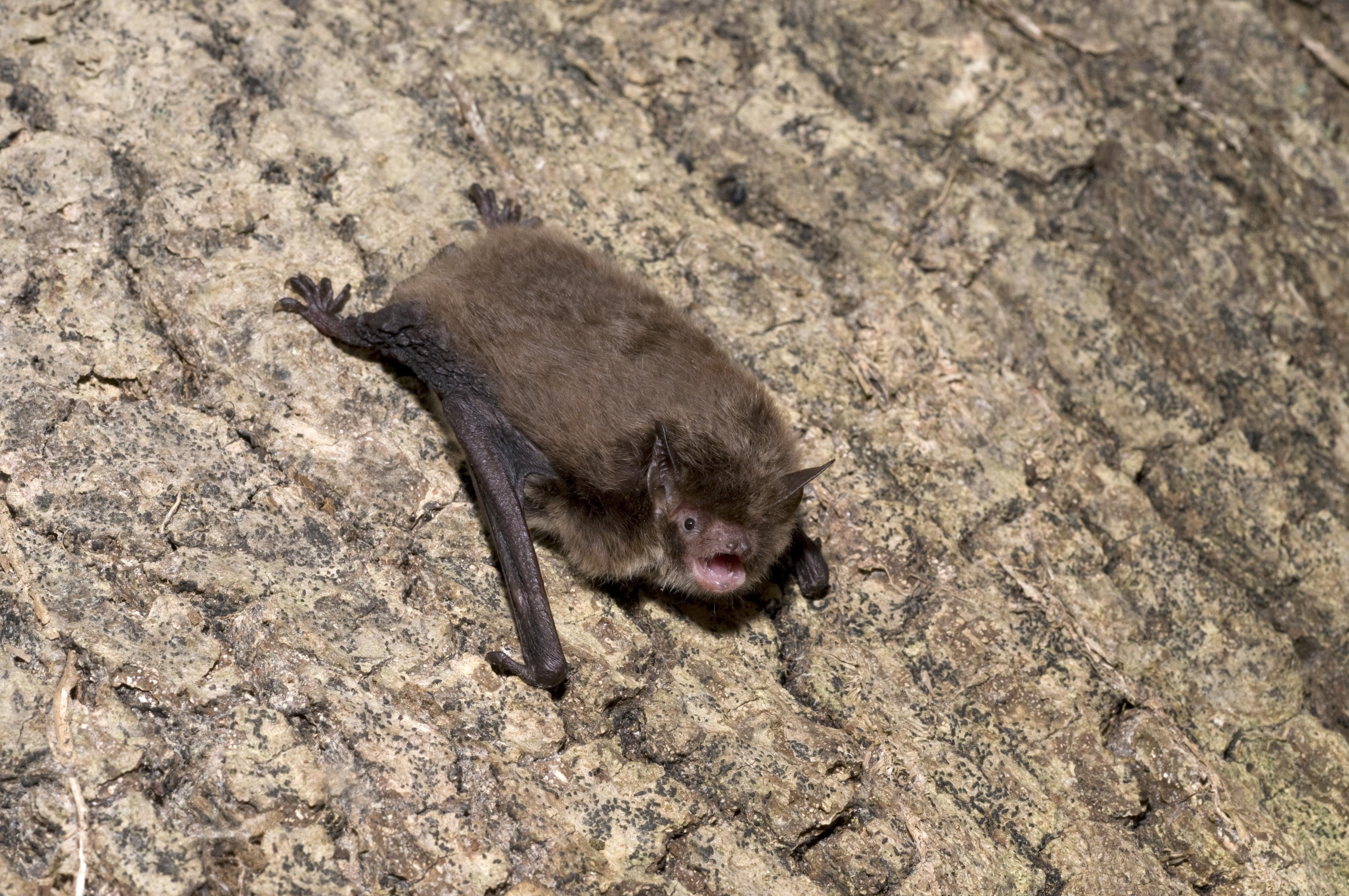 M.daubentonii(Hugh Clark).jpg
