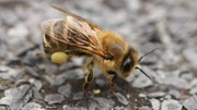 Neonicotinoid pesticides are a huge risk – so ban is welcome, says EEA