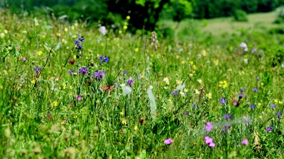 Flower-rich semi-natural grasslands are the home of many butterflies