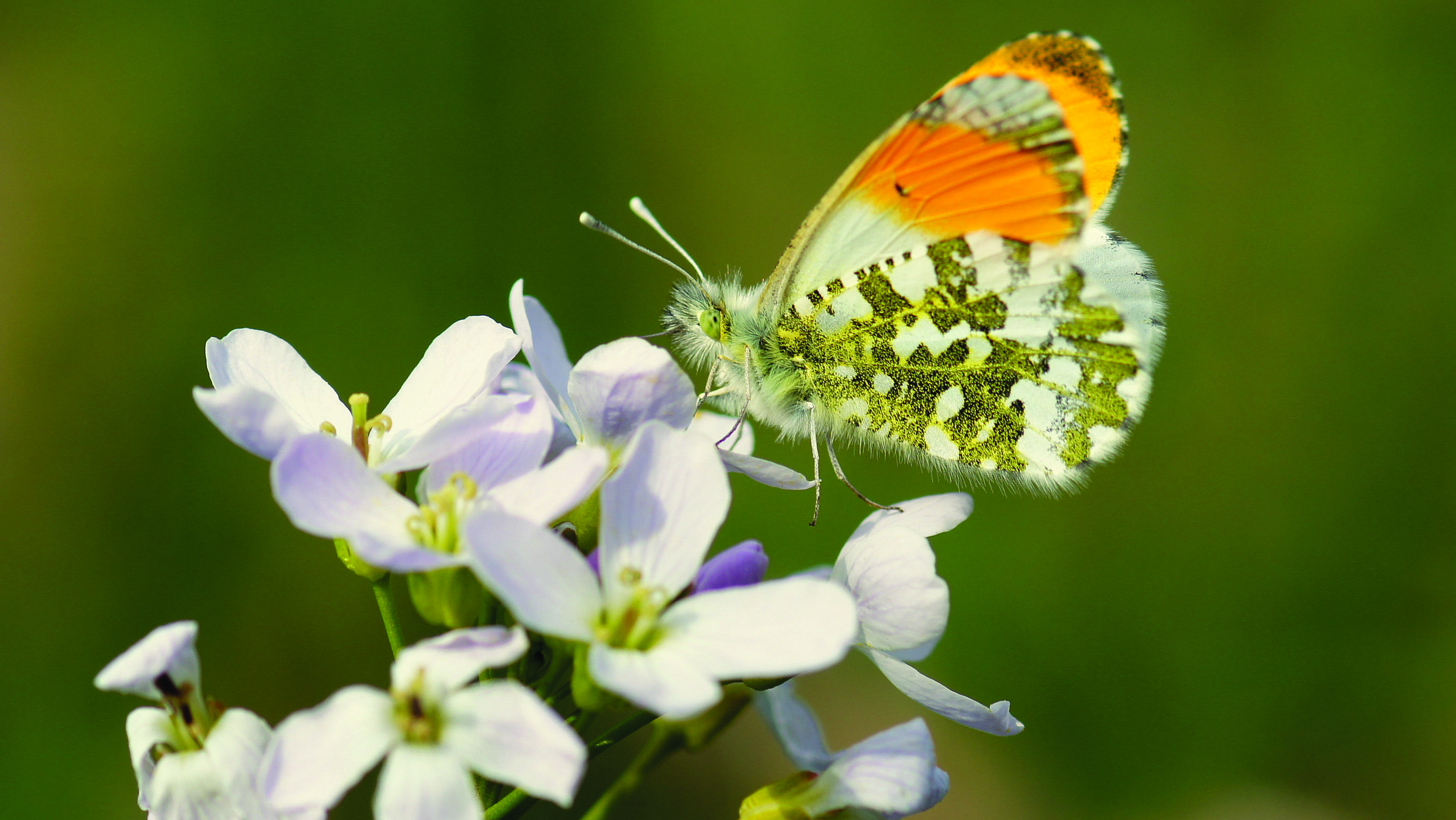 Orangetip (Anthocharis cardamines)