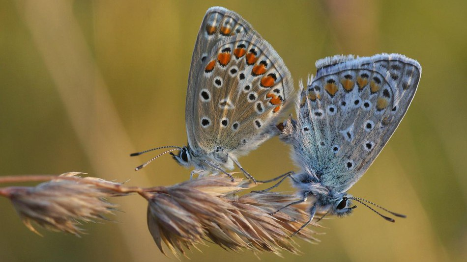 The Common Blue (Polyommatus icarus)